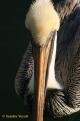 knight bird